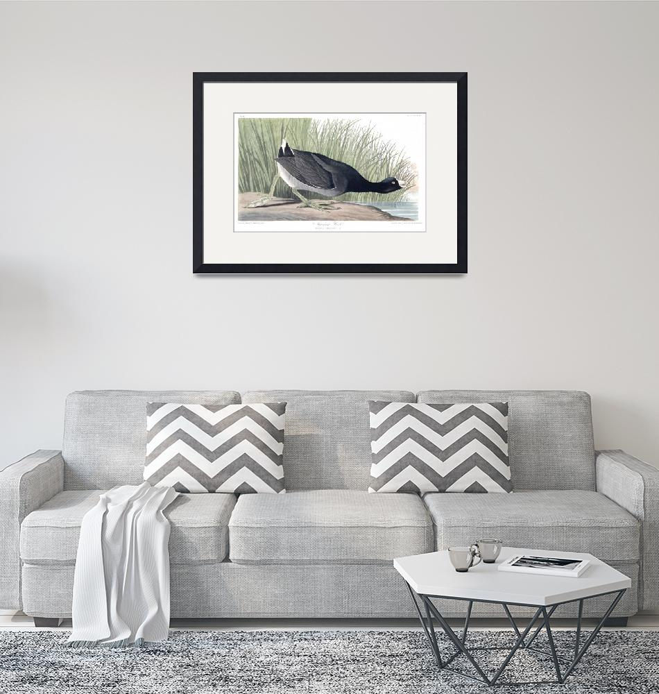 """American Coot, Plate 239""  by FineArtClassics"