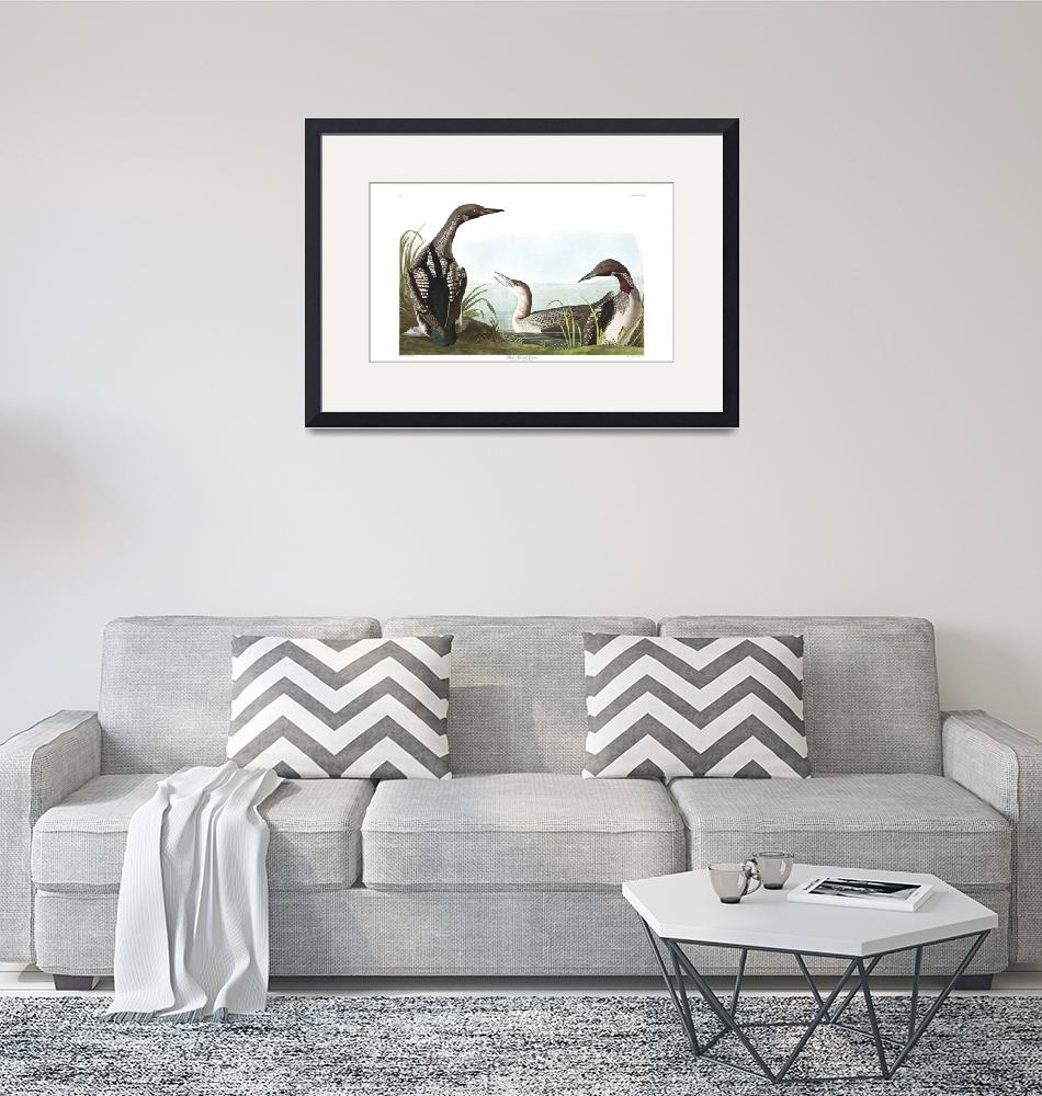 """""""Black Throated Diver, Plate 346""""  by FineArtClassics"""