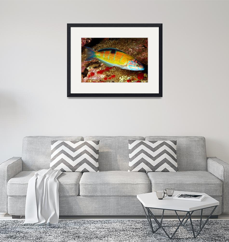 """""""Ornate Wrasse""""  (2007) by JoaoPonces"""