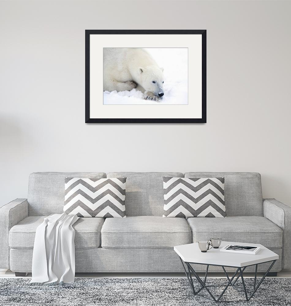 """Polar Bear During A Very Peaceful Rest Churchill,""  by DesignPics"