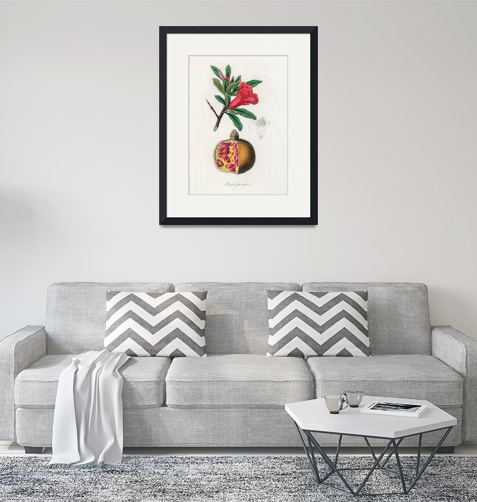 """Vintage Botanical The pomegranate""  by FineArtClassics"