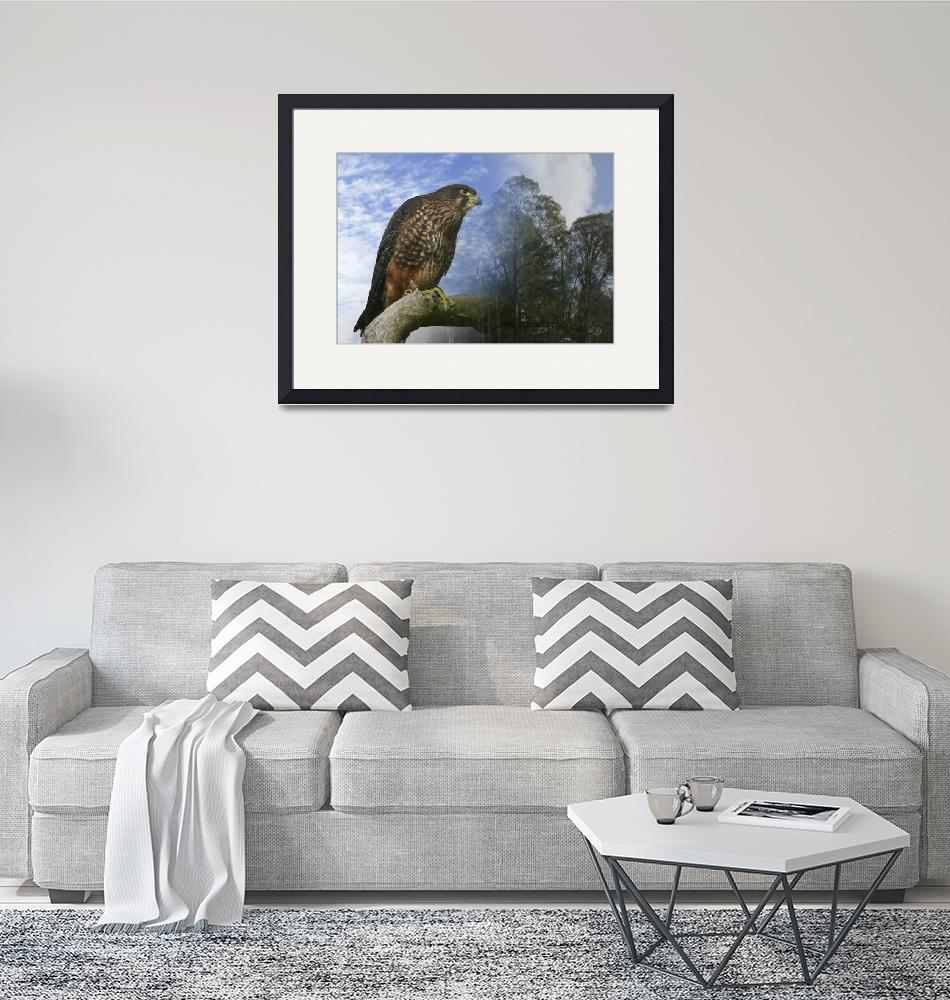 """""""New Zealand Falcon""""  (2008) by ChrisWhitePhotography"""