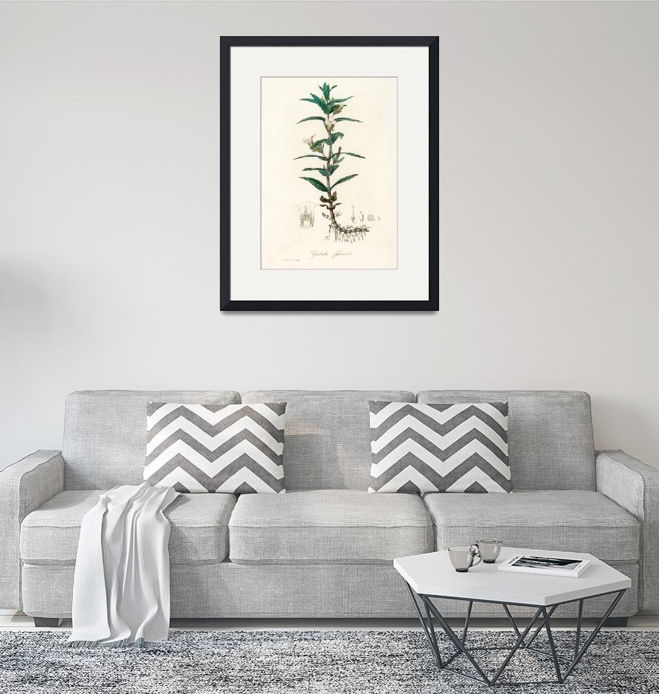 """Vintage Botanical Gratiola officinalis""  by FineArtClassics"