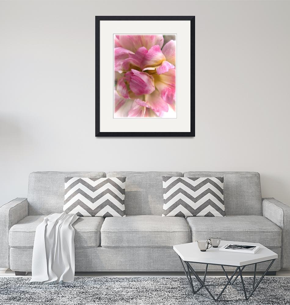 """Soft & Frilly Pink & White Tulip Petals in Bloom""  by Chantal"