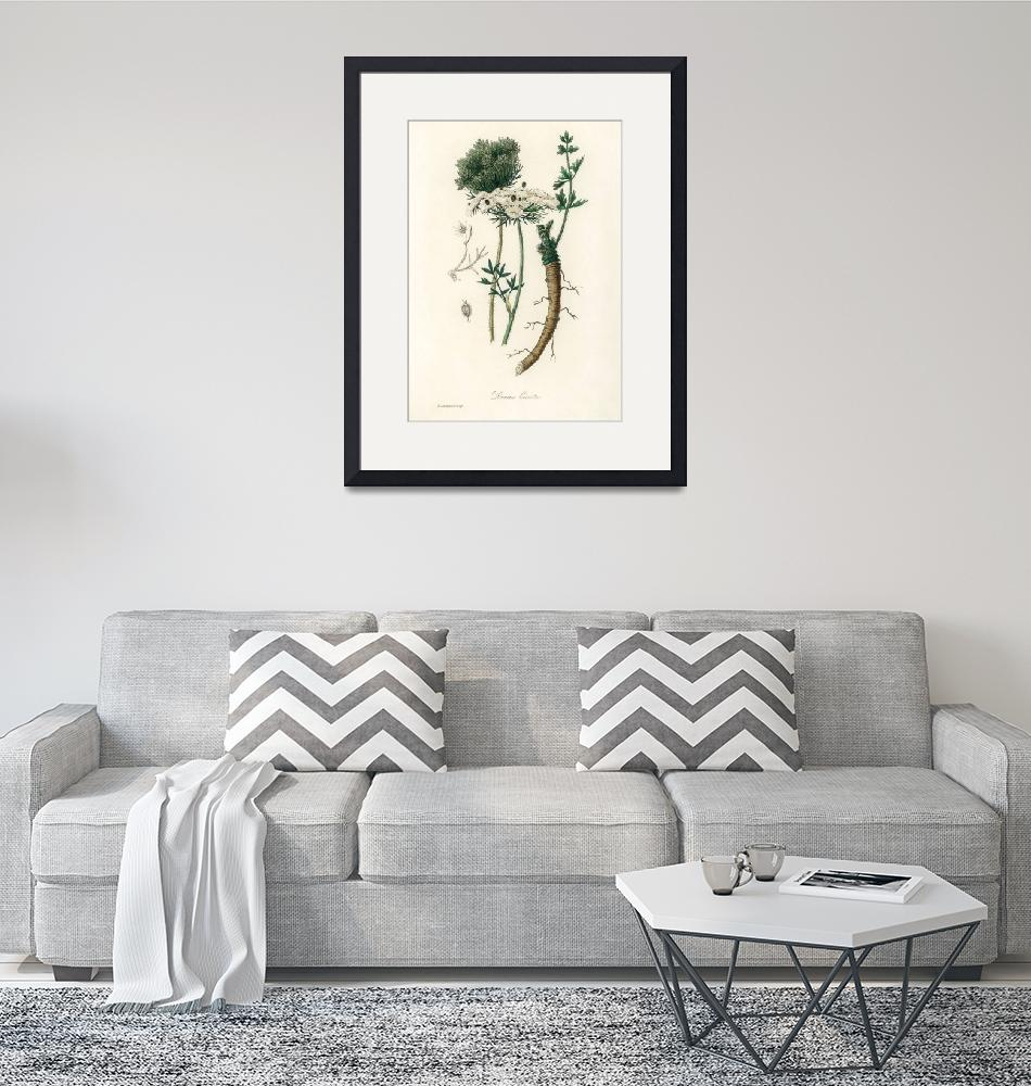 """Vintage Botanical Wild carrot""  by FineArtClassics"