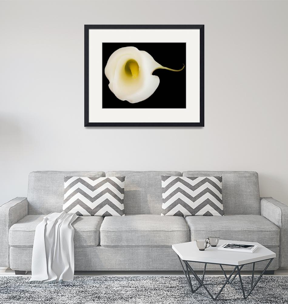 """""""Calla Lily""""  by RobTerwilliger"""