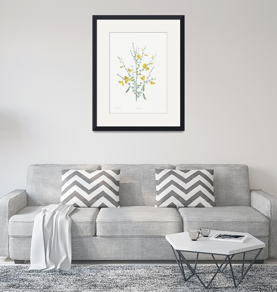 """Broom Flower Vintage Botanical""  by FineArtClassics"