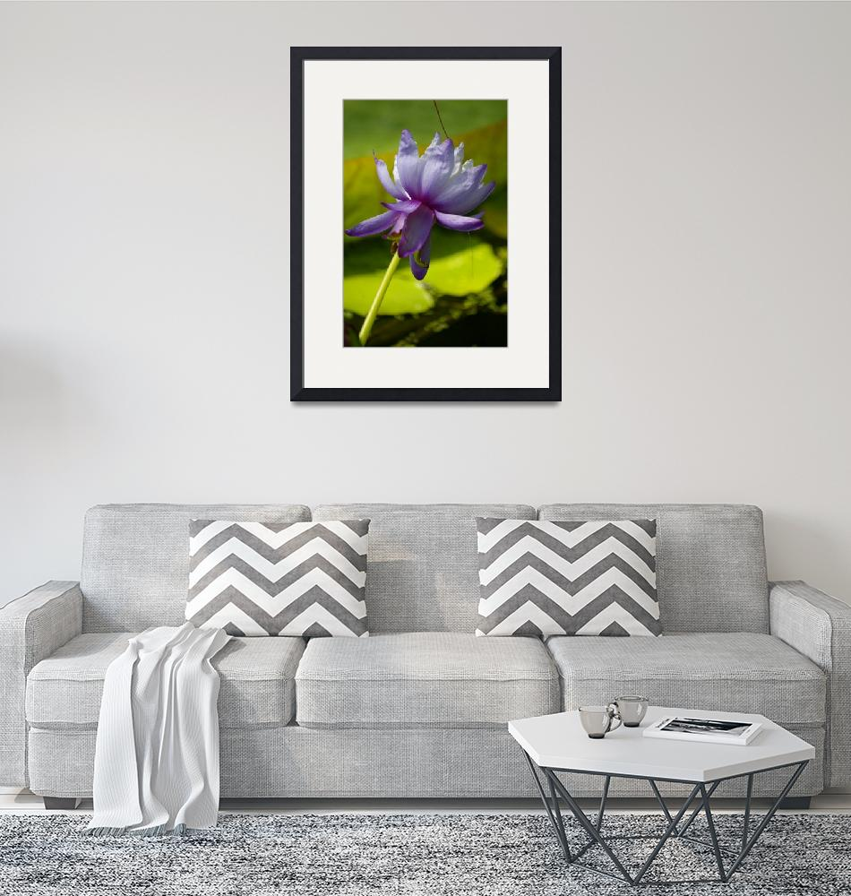 """""""Australian water-lily""""  (2010) by mellting"""