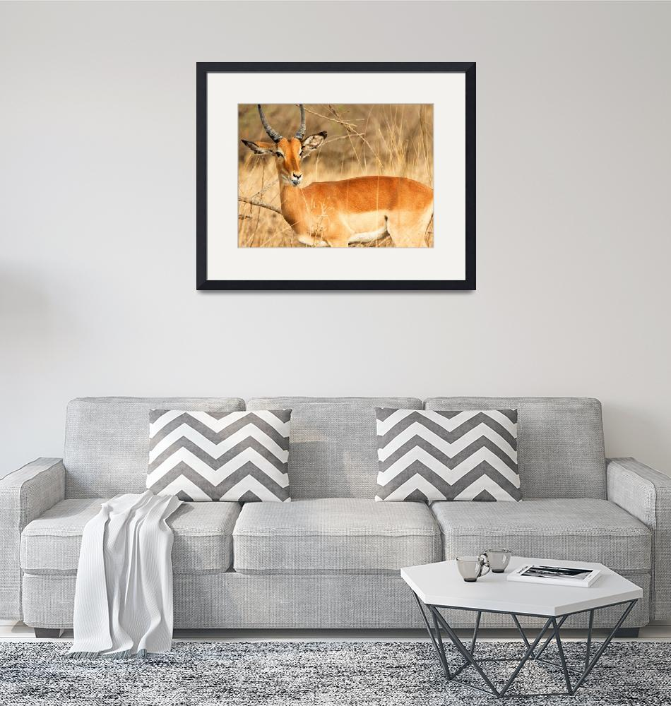 """""""African Impala""""  (2012) by mjphoto-graphics"""