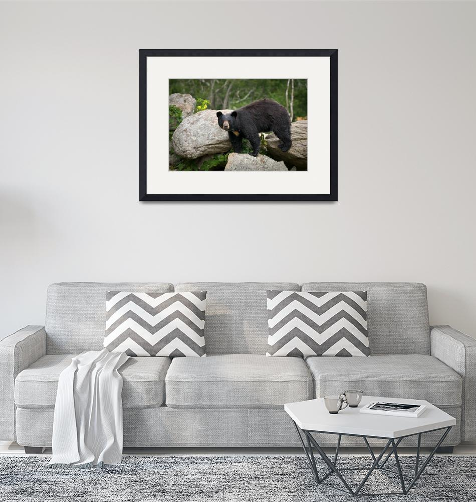 """American Black Bear in Blue Ridge Mountains""  (2010) by DAPhoto"