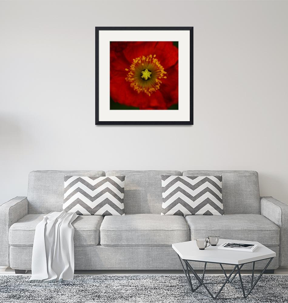 """""""Red Poppy"""" by Mike_Bartley"""