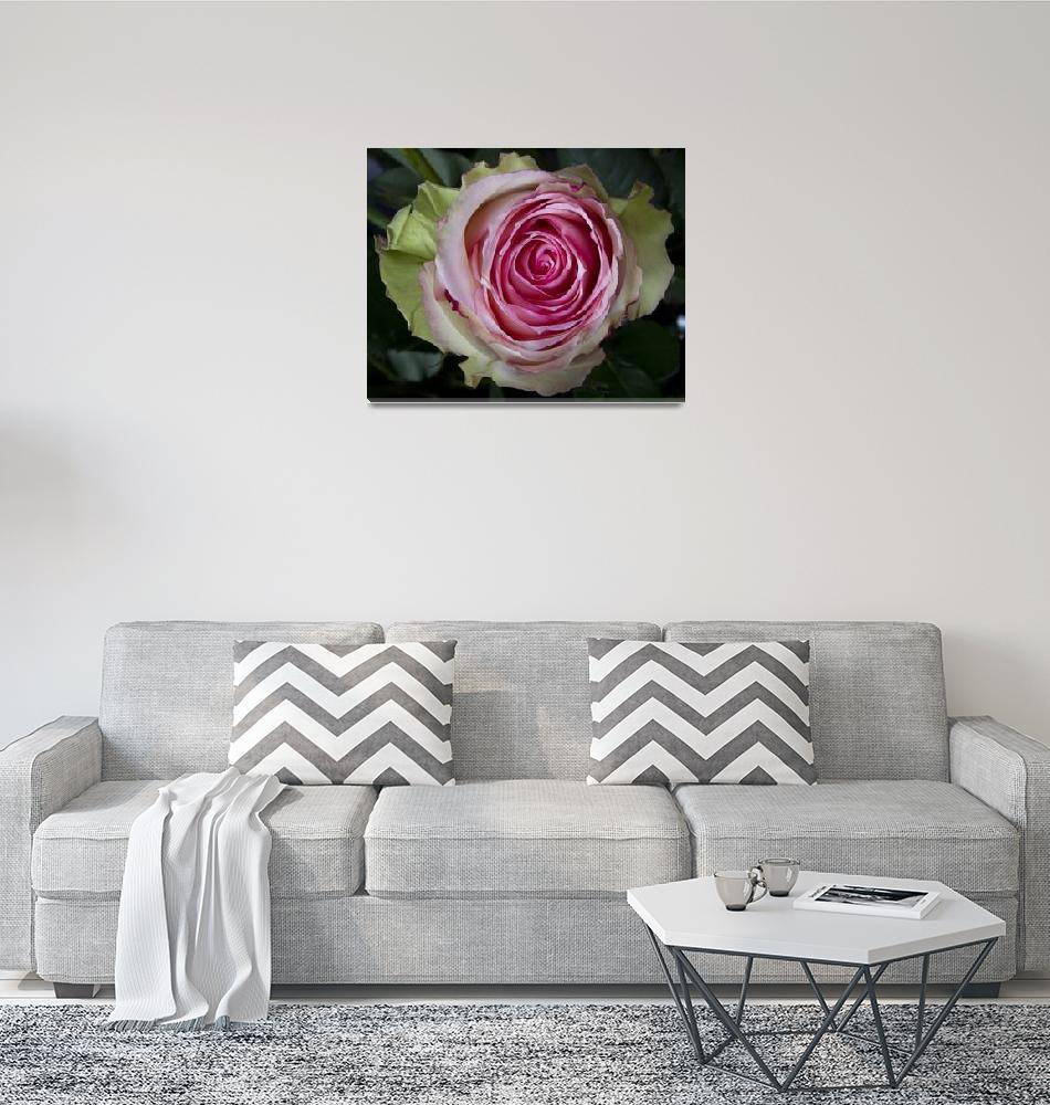 """""""Pink Rose Spiral""""  (2012) by lightningman"""