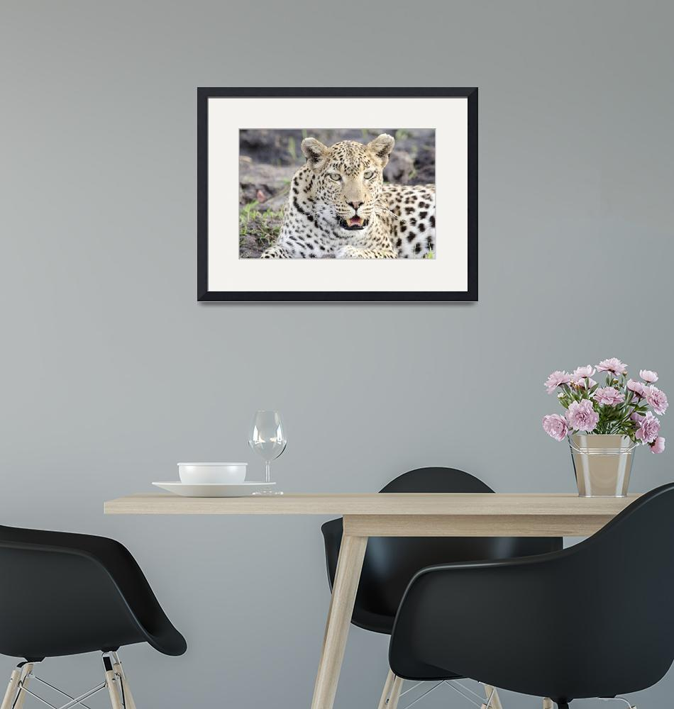 """""""Female Leopard""""  (2016) by LDW_IMAGES"""