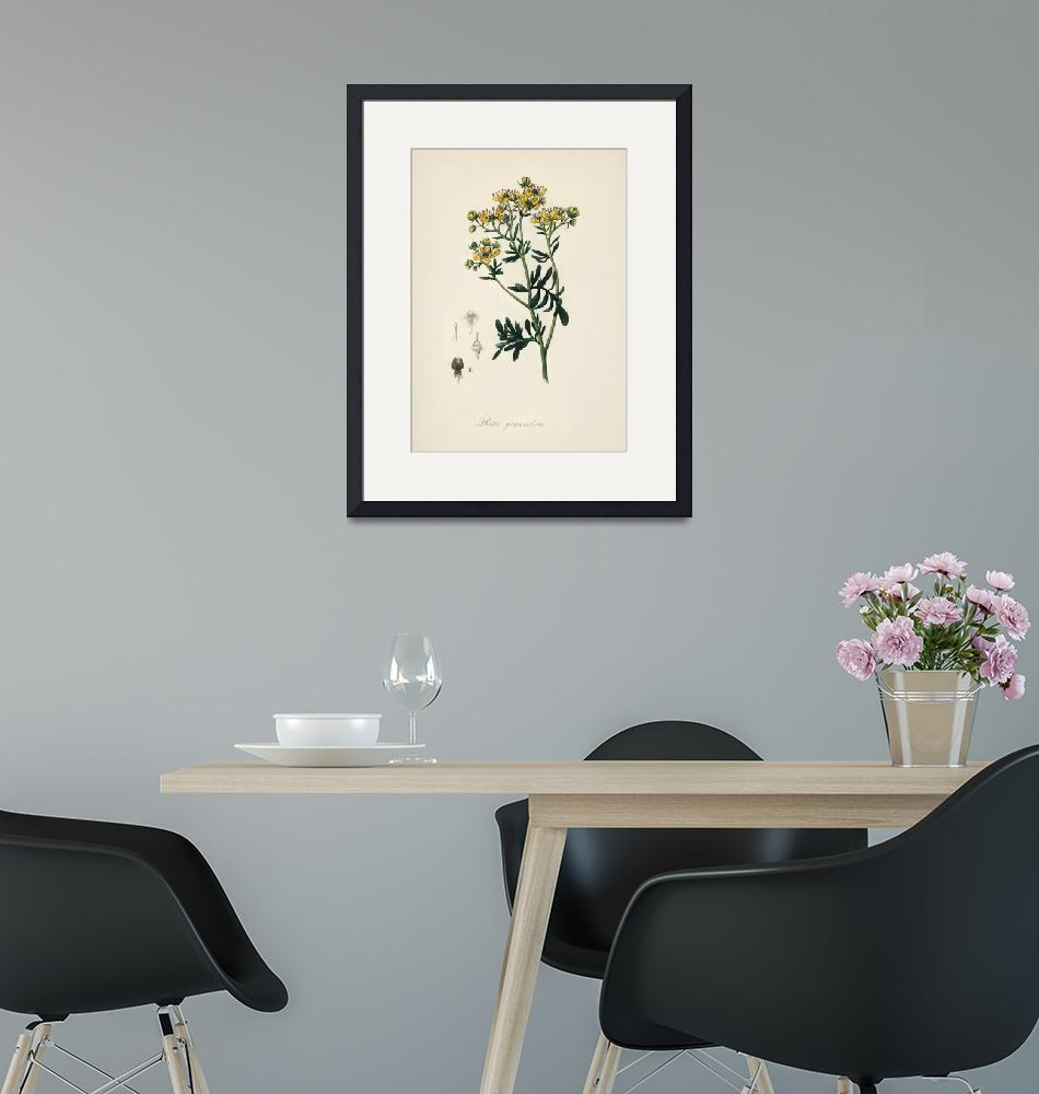 """Vintage Botanical Rue""  by FineArtClassics"