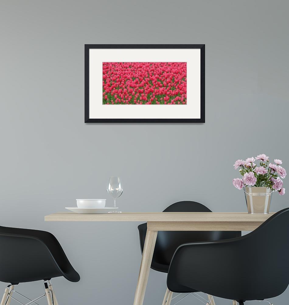 """Fields of Red Tulips""  by vicki"