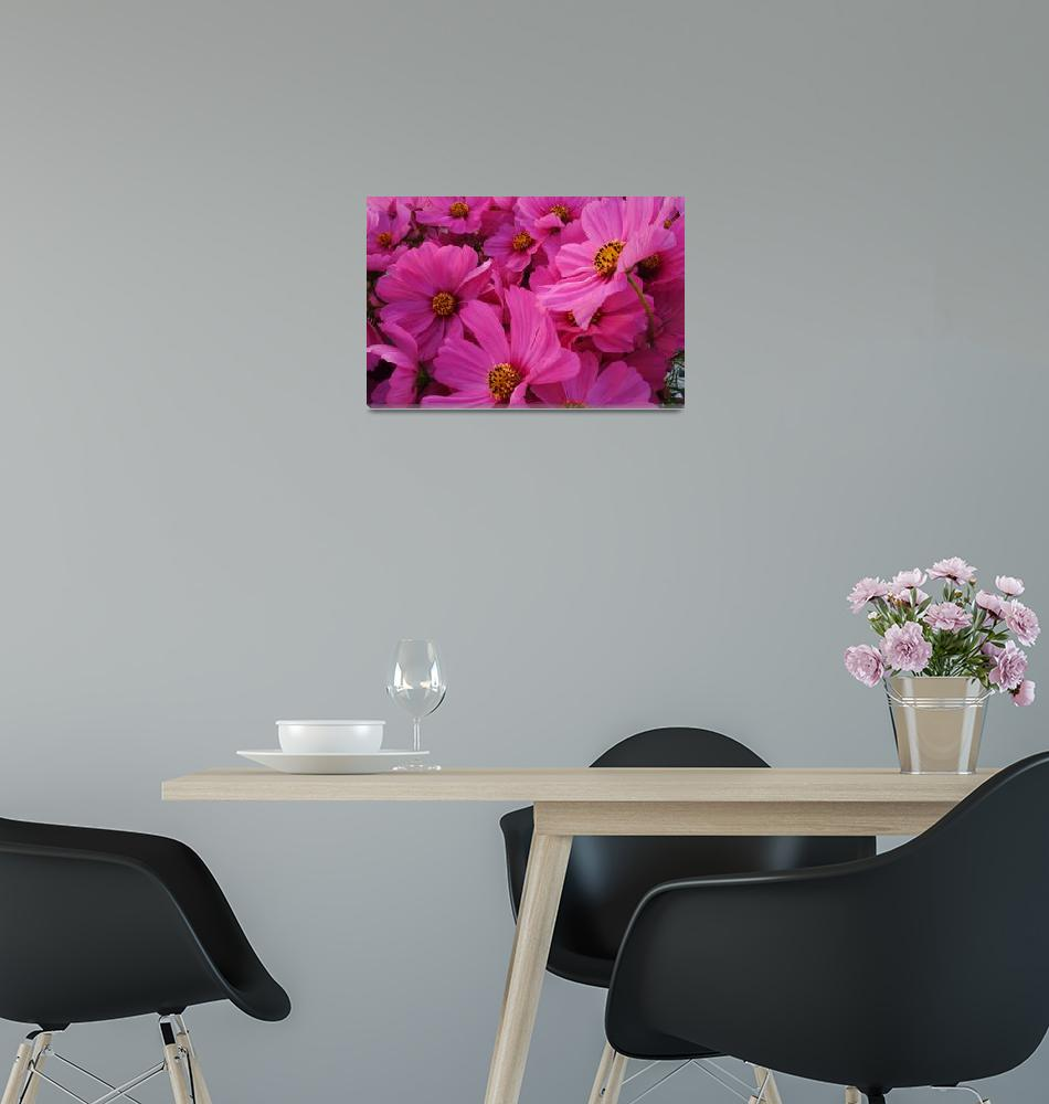 """""""Pink Cosmos""""  (2005) by SederquistPhotography"""