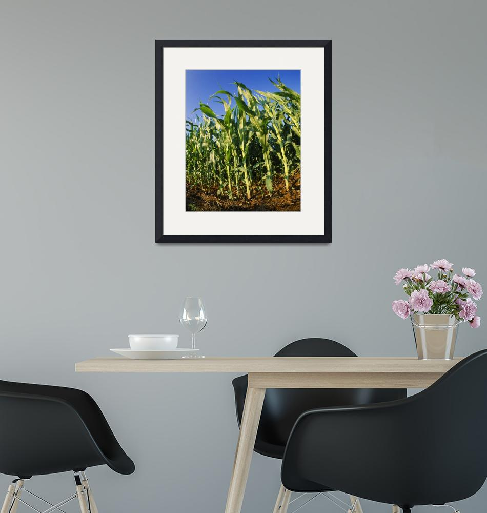 """Corn Stalks""  by Panoramic_Images"