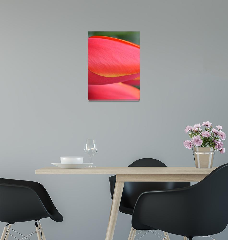 """""Pink Orange Yellow Tulip 18"" #18042315.0716 (3)""  (2015) by achimkrasenbrinkart"
