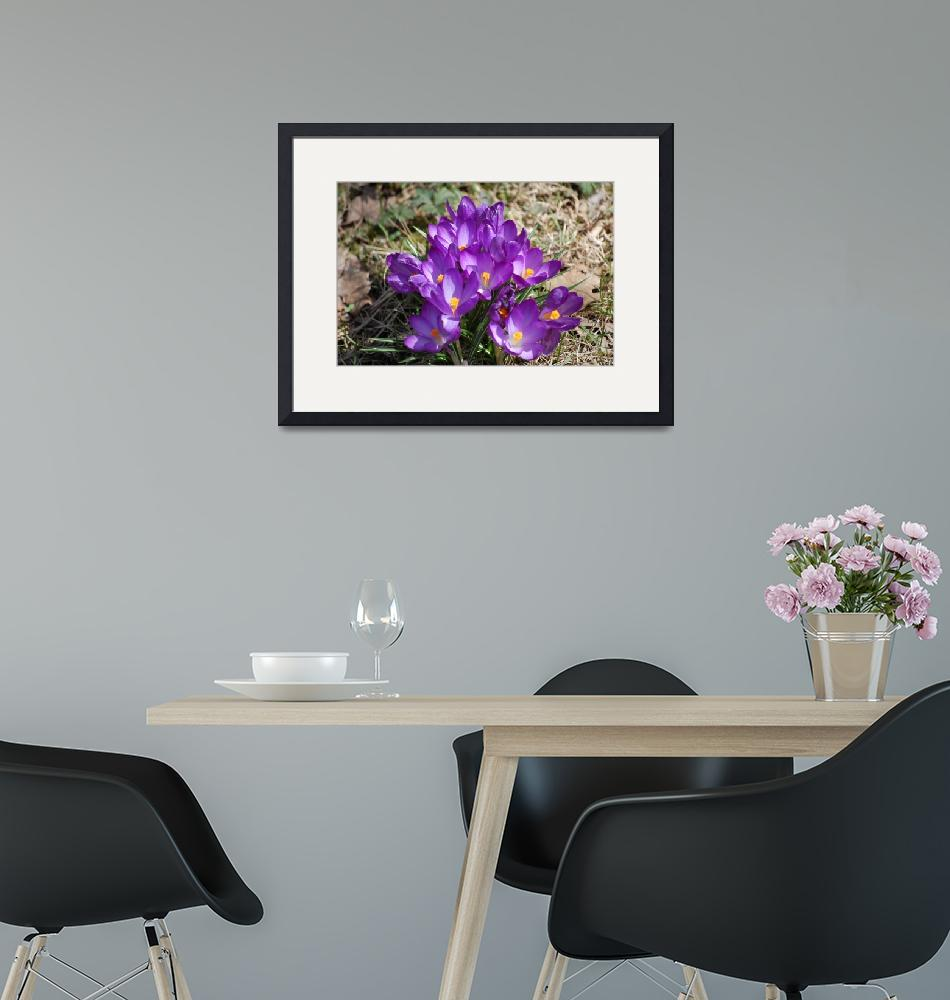 """""""Purple and White Crocus""""  by BuddhabellyDave"""
