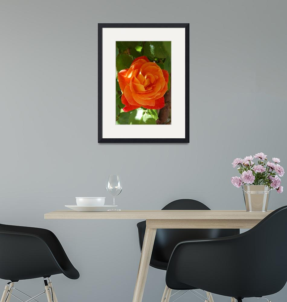 """""""Orange Rose""""  by kncphotos"""