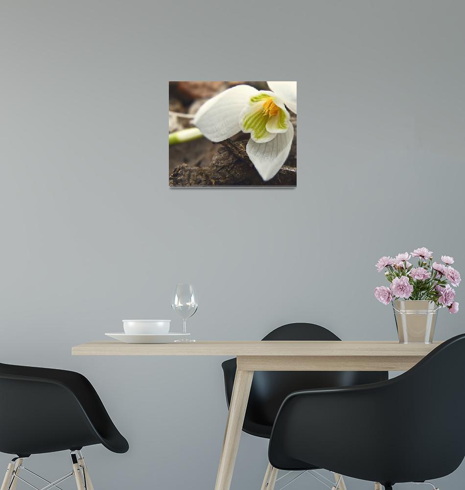 """Galanthus nivalis""  (2011) by leavesnbloom"