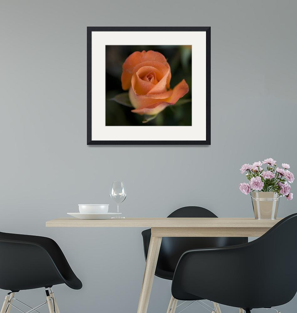 """Sunday Morning Rose 1""  (2008) by DHPhotography"
