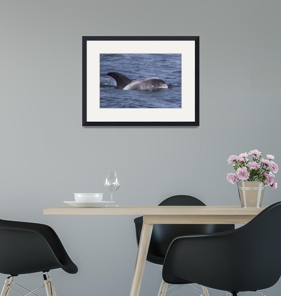 """Striped dolphin, Iceland""  (2019) by Photoenterprise"