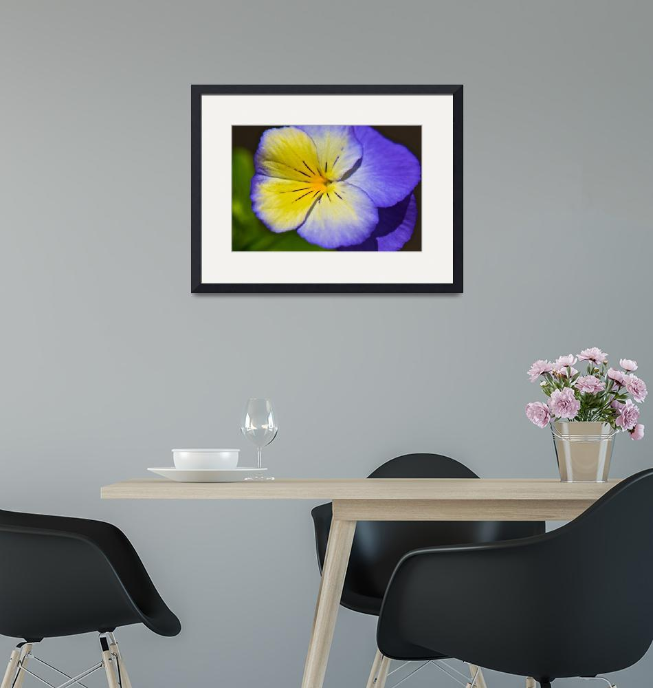 """Pansy Flower""  (2010) by annmcnabb"