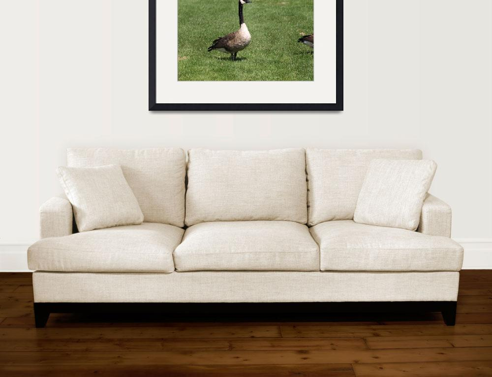 """""""Canada goose""""  (2009) by Albertphoto"""