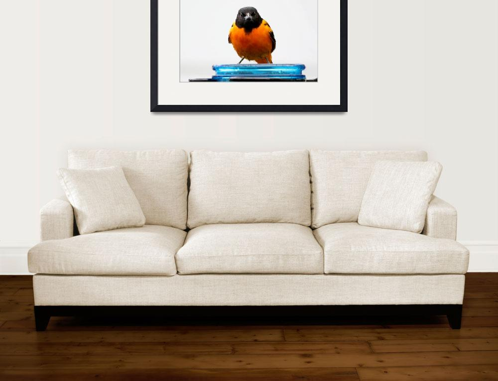 """""""Baltimore oriole&quot  by cameragal"""