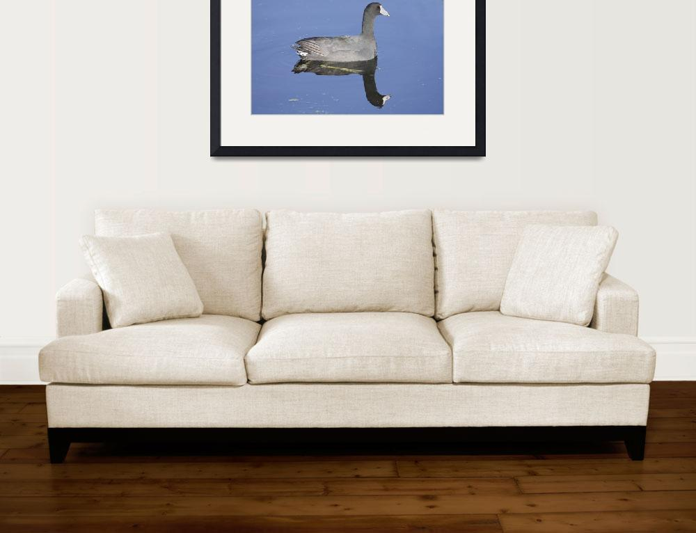 """""""American Coot Photograph&quot  by ArtLoversOnline"""