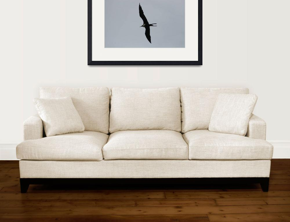 """Frigate Bird in Flight""  (2012) by rhamm"