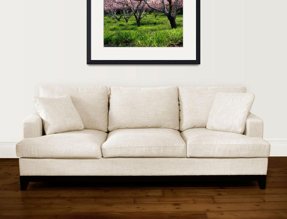 """Peach Orchard In Bloom&quot  (2008) by dkocherhans"