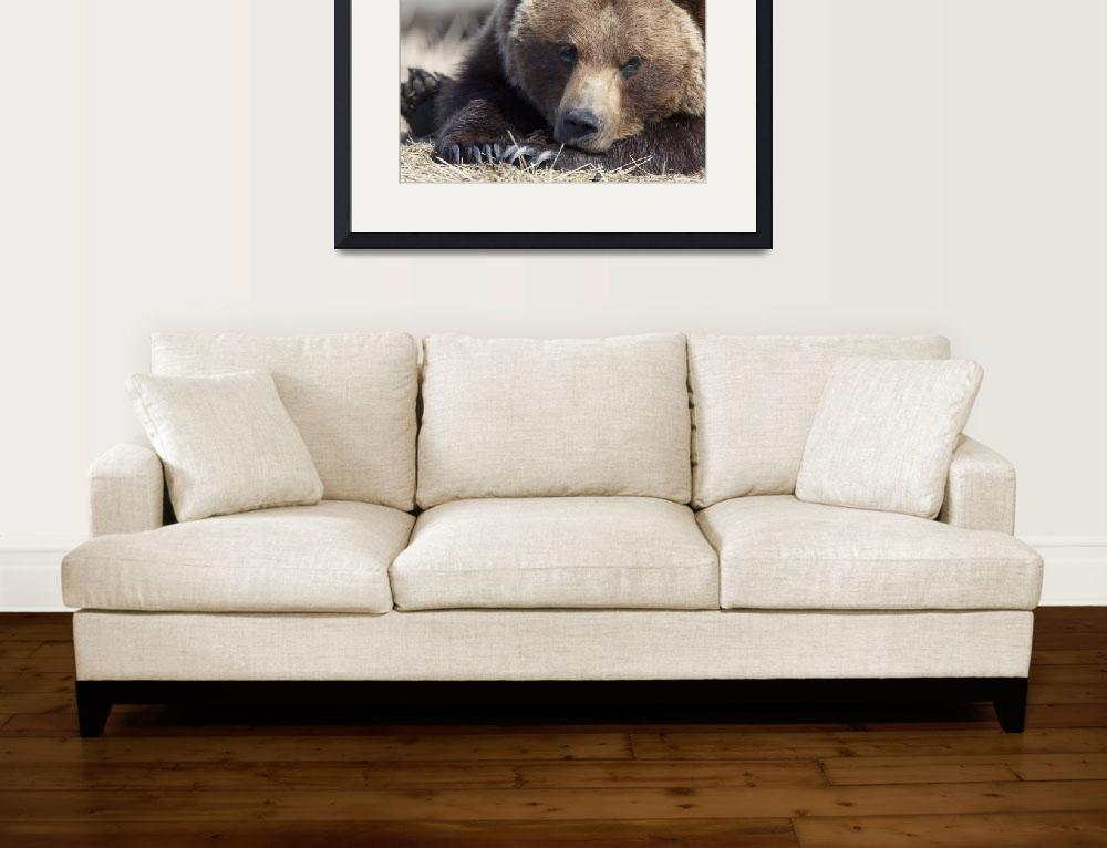 """""""Close up portait of a sleepy adult Brown bear at t&quot  by DesignPics"""