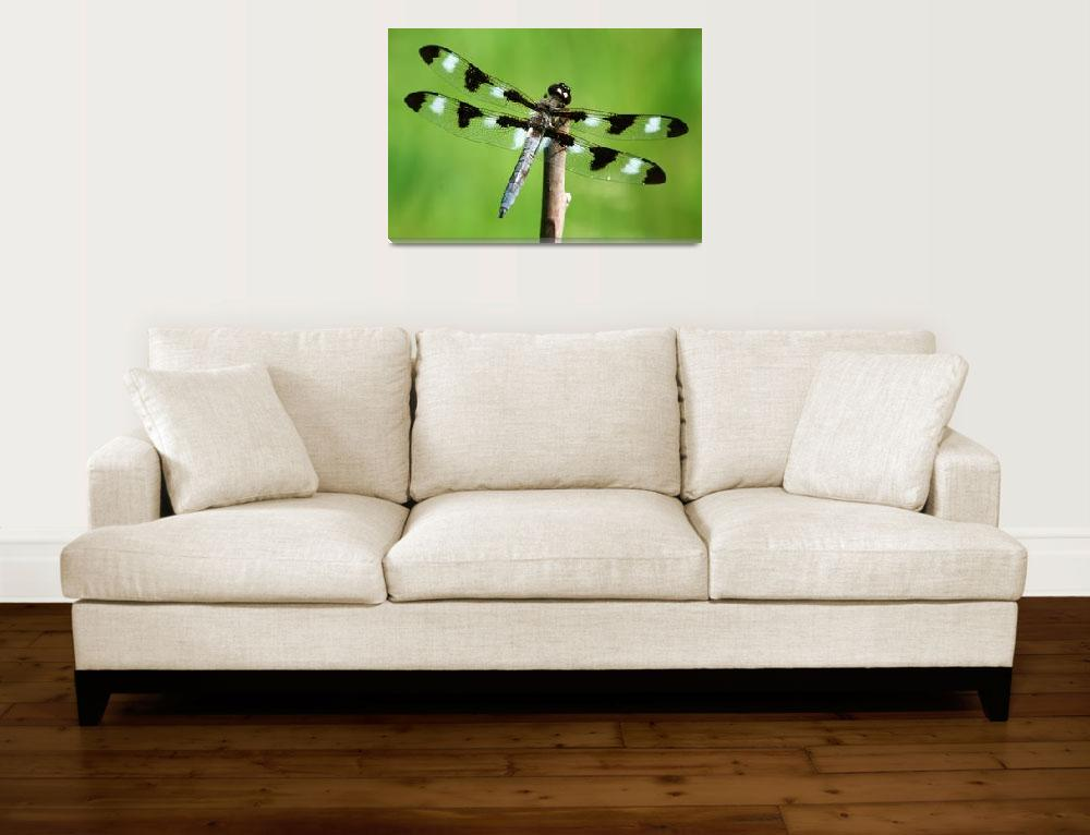"""Twelve-spotted Skimmer""  (2008) by nature55"