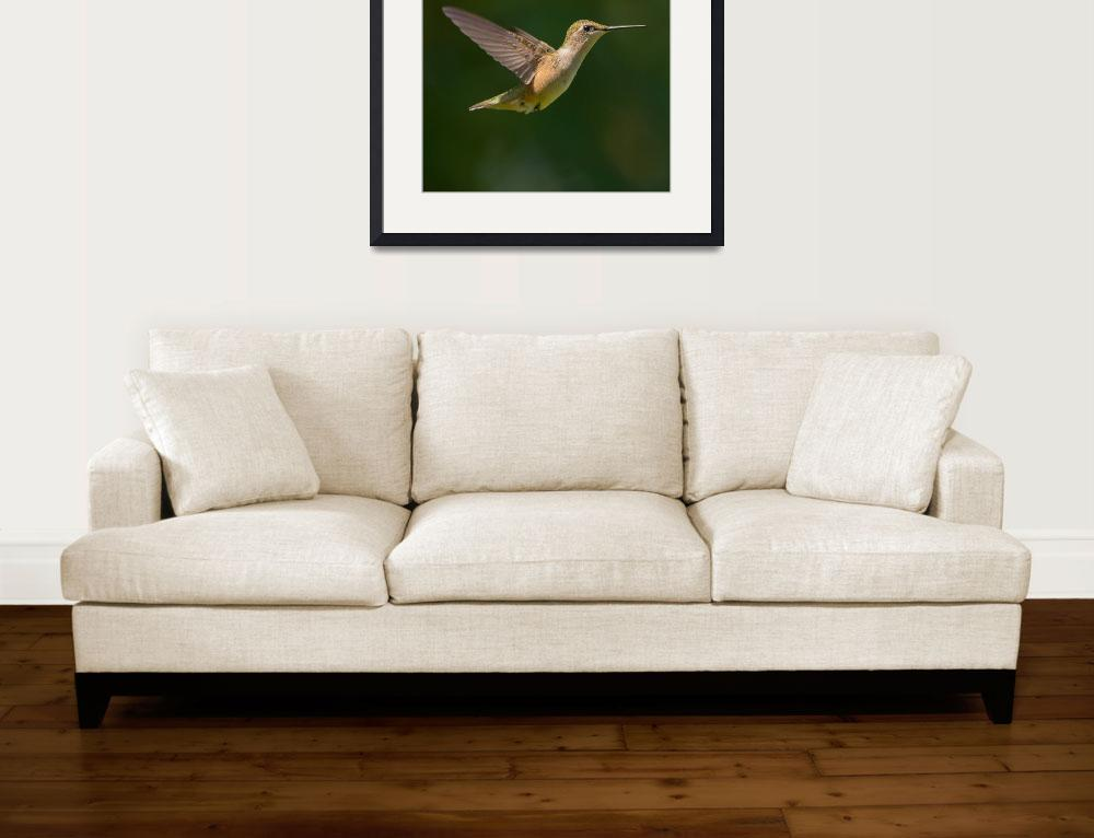 """Ruby-throated Hummingbird Flying&quot  (2014) by NatureAsArt"