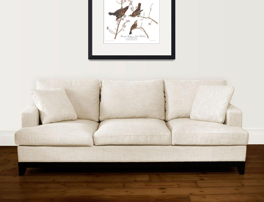 """""""Audubon plate 67 red winged starling&quot  by FineArtClassics"""