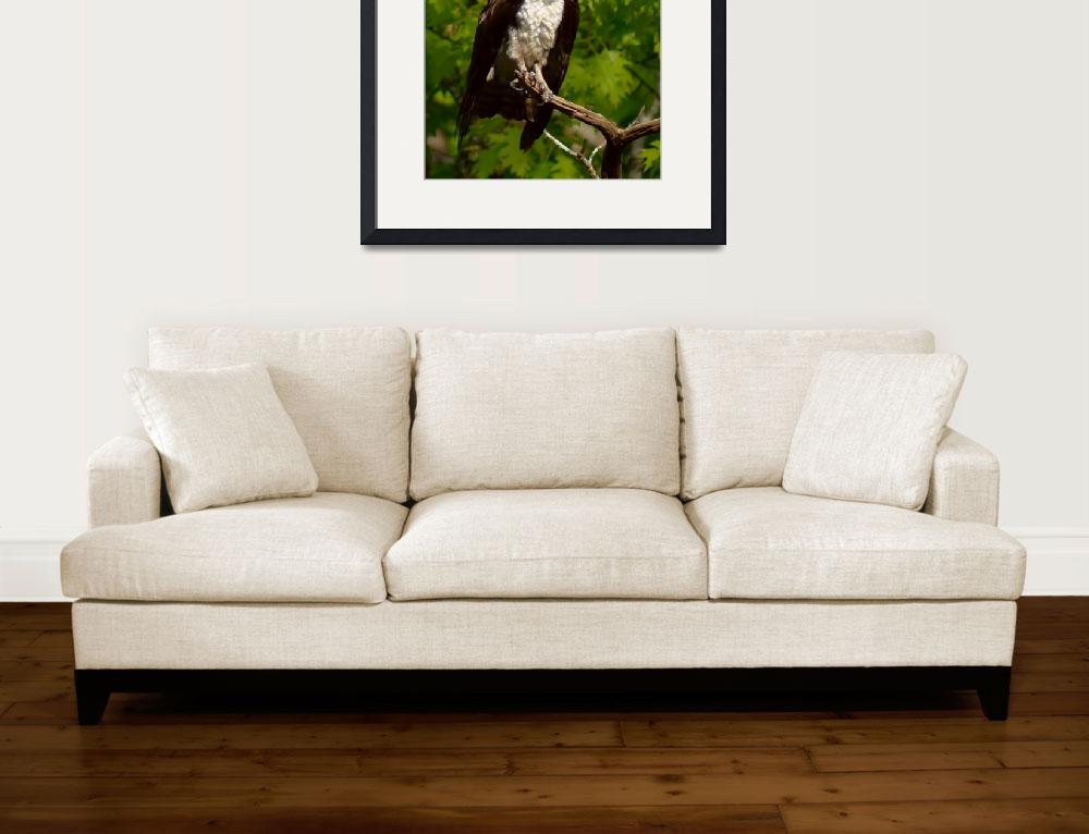 """""""Young Osprey&quot  (2017) by bavosiphotoart"""