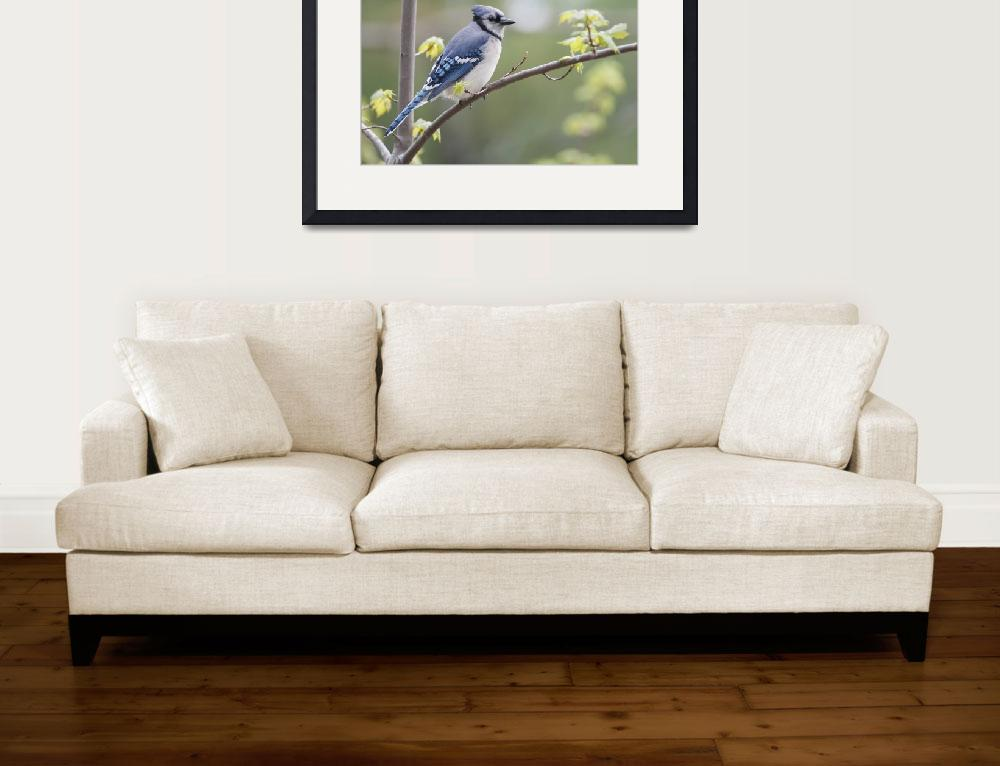 """""""Blue Jay Perched On Budding Maple Tree In Springti&quot  by DesignPics"""