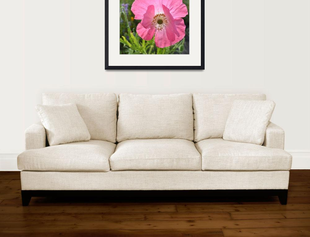 """""""Macro Pink Iceland Poppy&quot  (2011) by PatriciaSanders"""