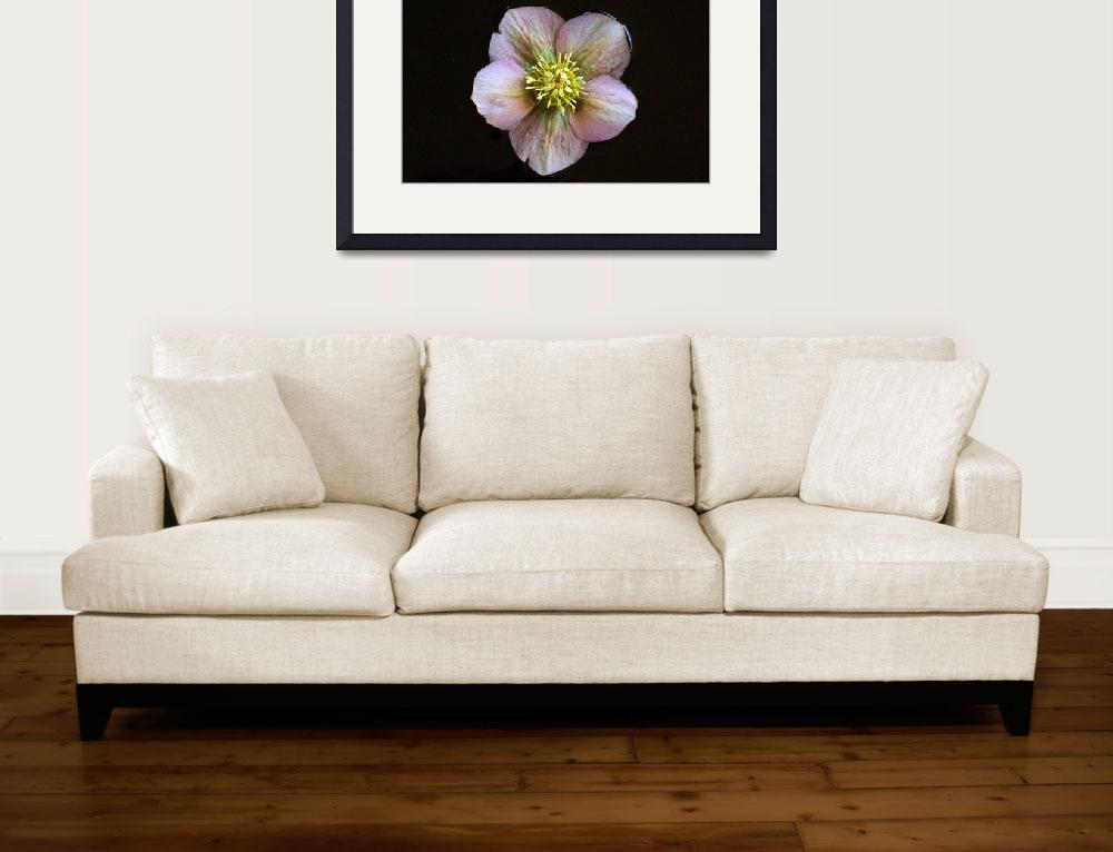 """""""Christmas Rose in Water""""  (2013) by LightHeart"""