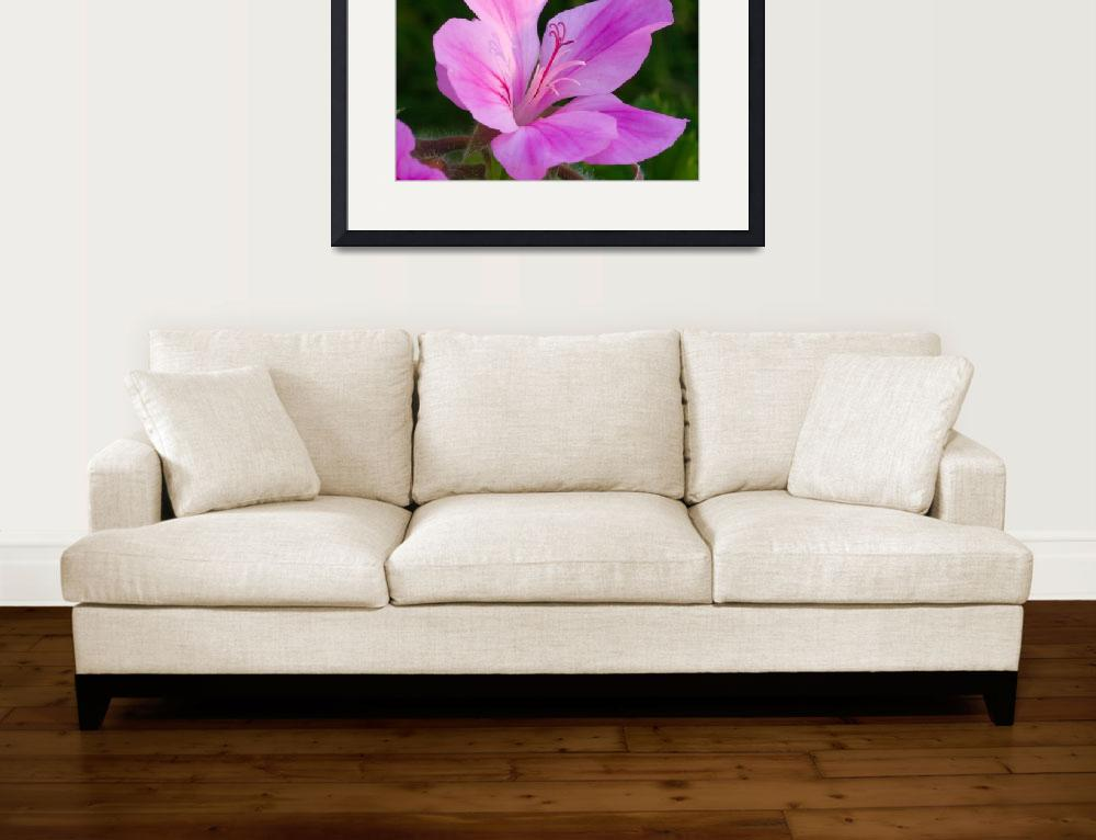 """""""Pink Pelargonium&quot  by paulyoung"""