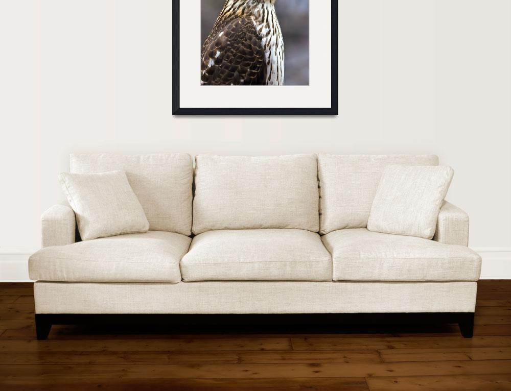 """Portrait of a Cooper`s Hawk&quot  (2010) by ROBERTSCOTTPHOTOGRAPHYY"