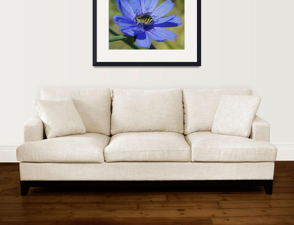 """""""Bee on Chicory Flower Cichorium Intybus&quot  (2011) by vpicks"""