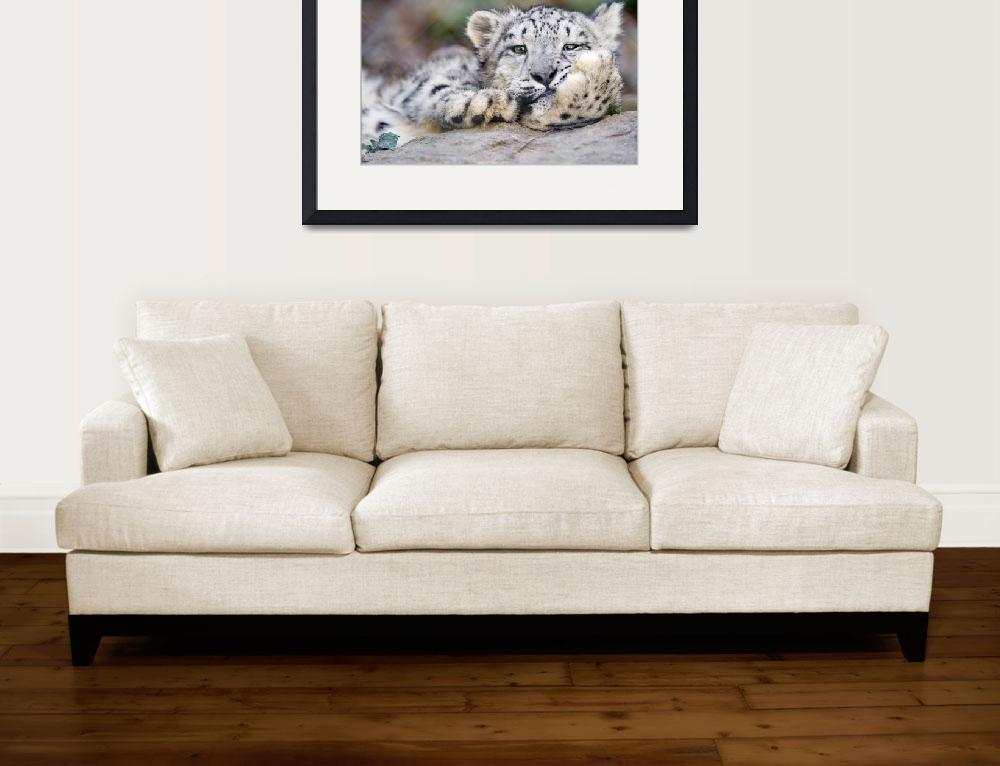 """Snow Leopard Relaxes&quot  (2017) by AnswersFound"