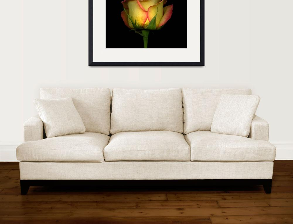 """""""Red and Yellow Rose&quot  (2008) by OGphoto"""