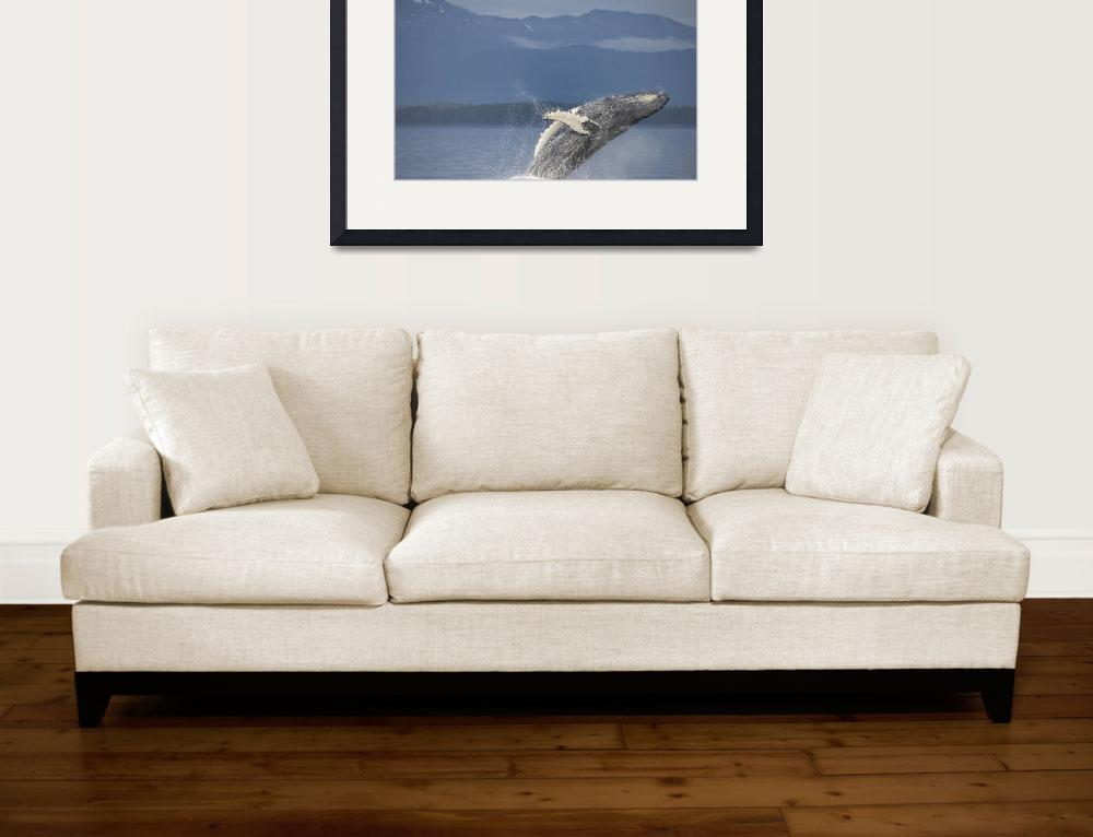 """""""Breaching Humpback Whale, Frederick Sound""""  (2015) by SederquistPhotography"""
