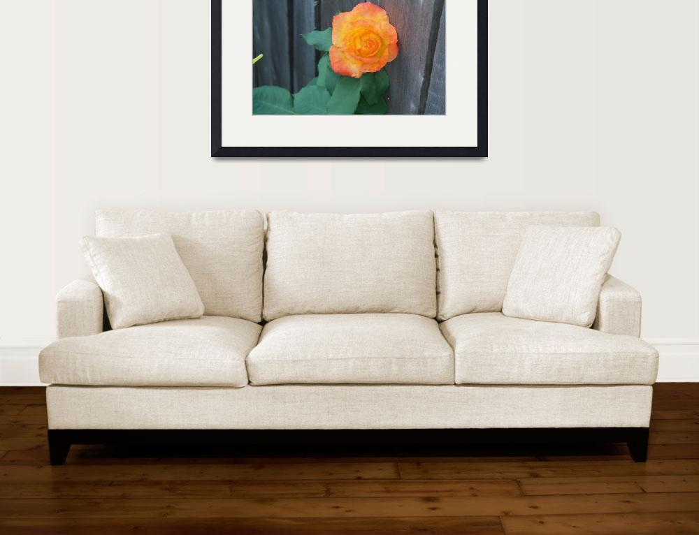 """""""4007 Colorful climbing rose bloom against a worn f&quot  (2017) by NormaStampSunnyDaze"""