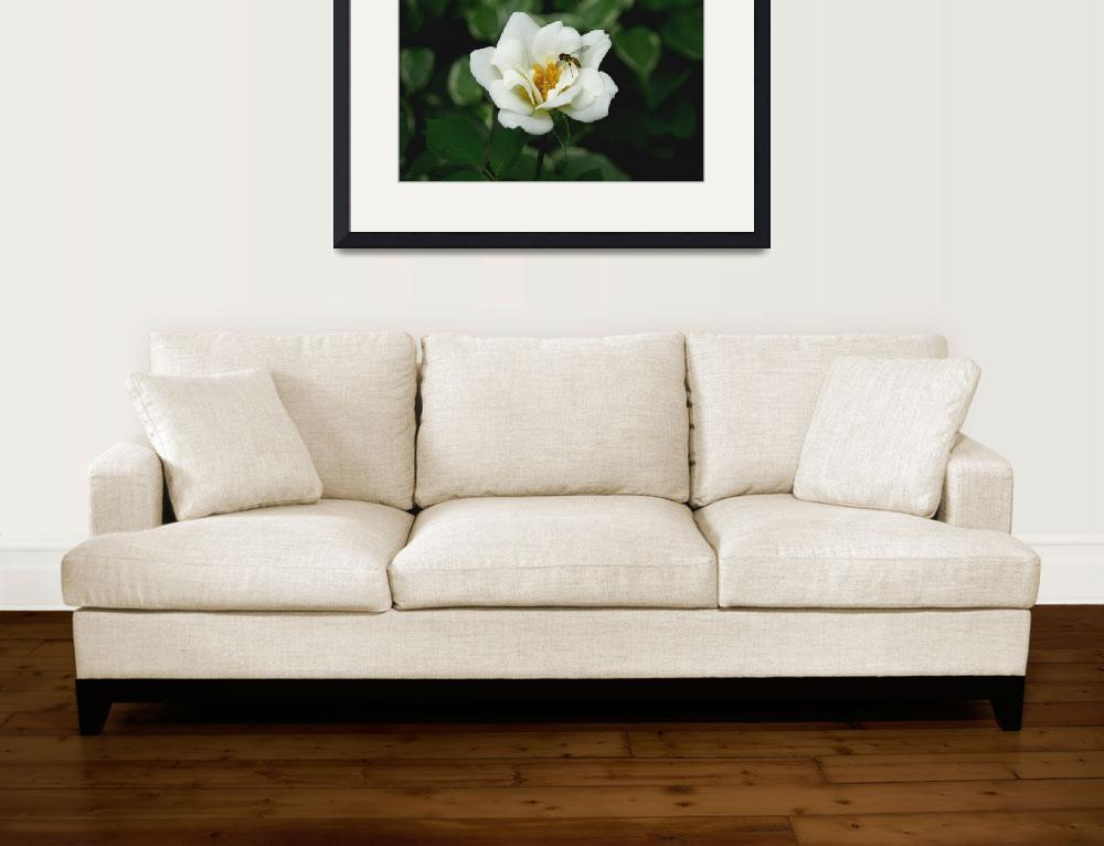 """""""Bee on White Rose&quot  (2011) by Exedra"""