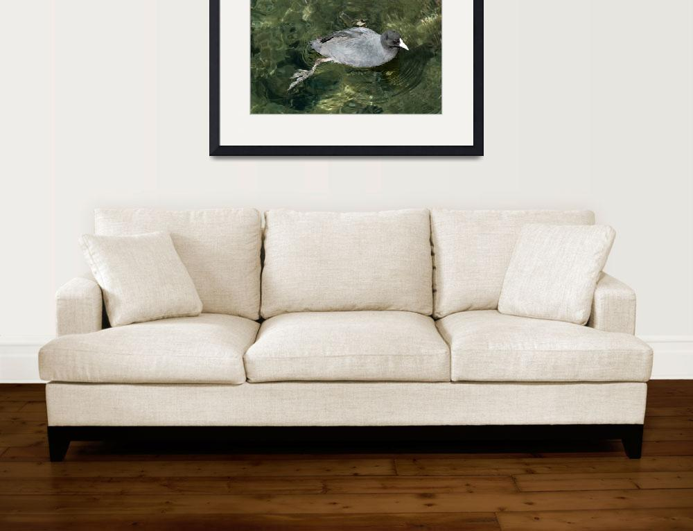 """""""American Coot Swimming&quot  (2014) by rhamm"""